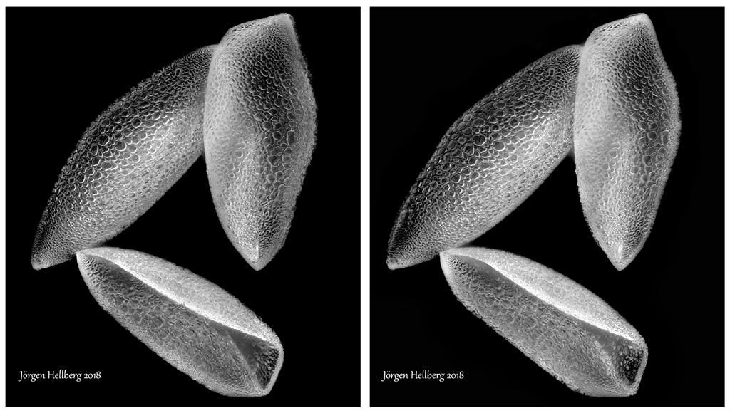 Cross eyed Hippeastrum flower
