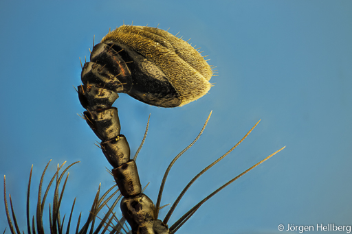 Antenna dor beetle