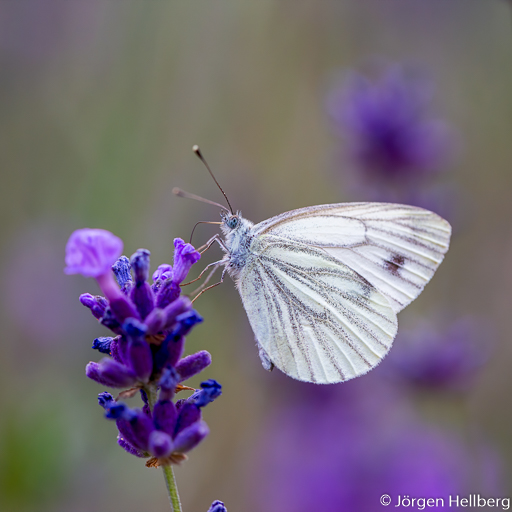 Butterfly and lavender, photo Jörgen Hellberg