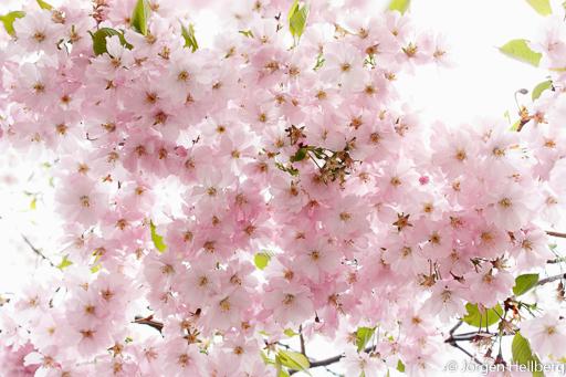 Cherry blossoms, photo Jörgen Hellberg