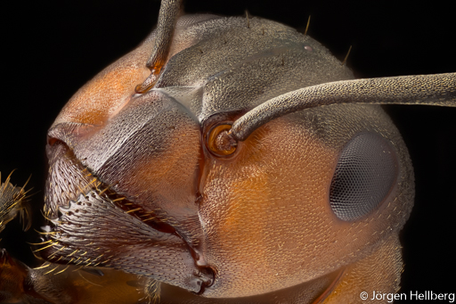 European red wood ant